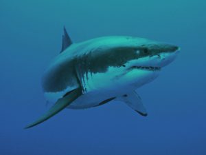 The great White, Isla de Guadalupe