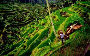 Indonesien_Reisfeld