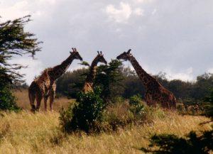 Kenya_Giraffs