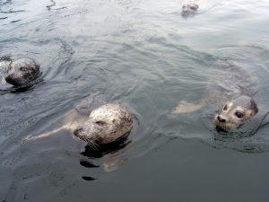 Seehunde Rostock