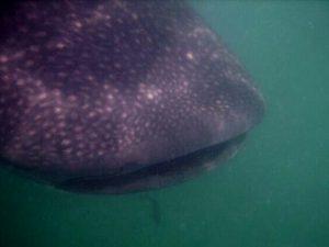 whaleshark holbox